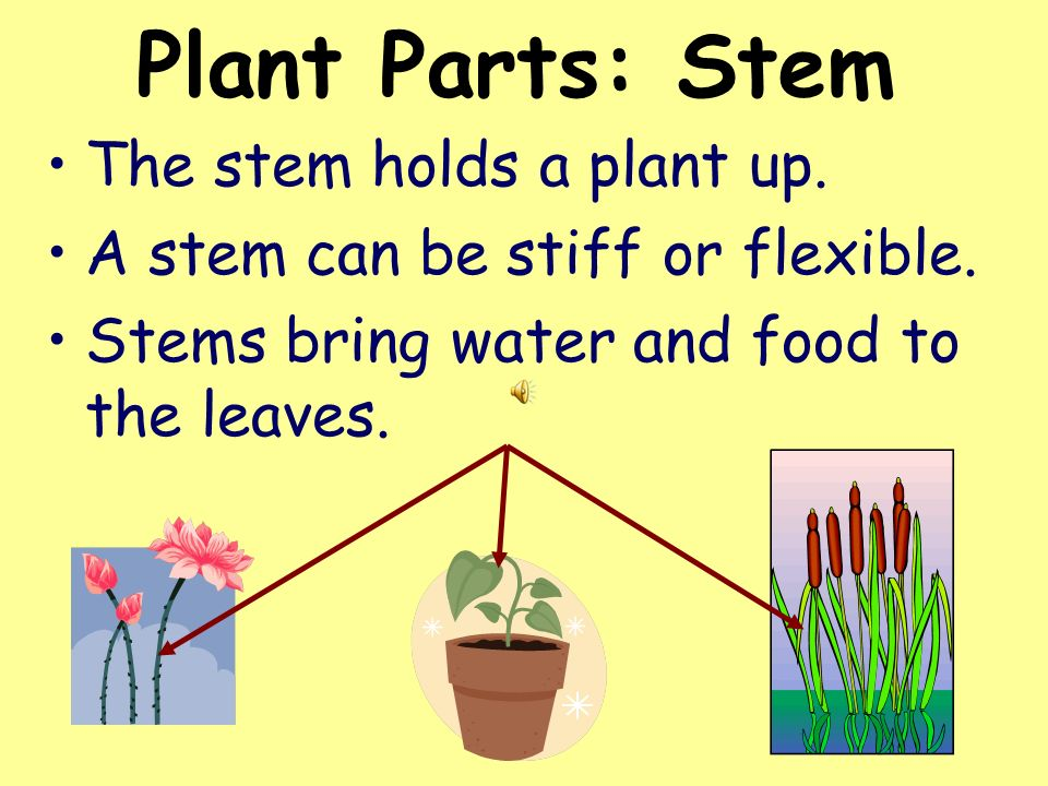 Plant Parts: Stem The stem holds a plant up.