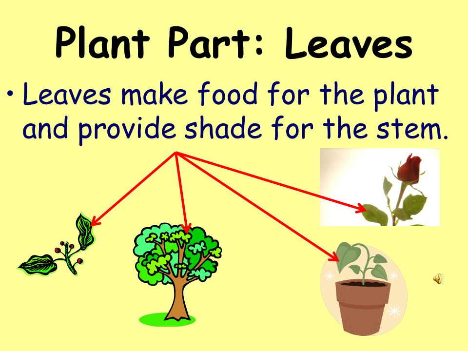 Plant Part: Leaves Leaves make food for the plant and provide shade for the stem.