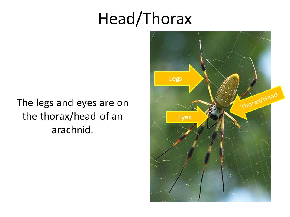 The legs and eyes are on the thorax/head of an arachnid.
