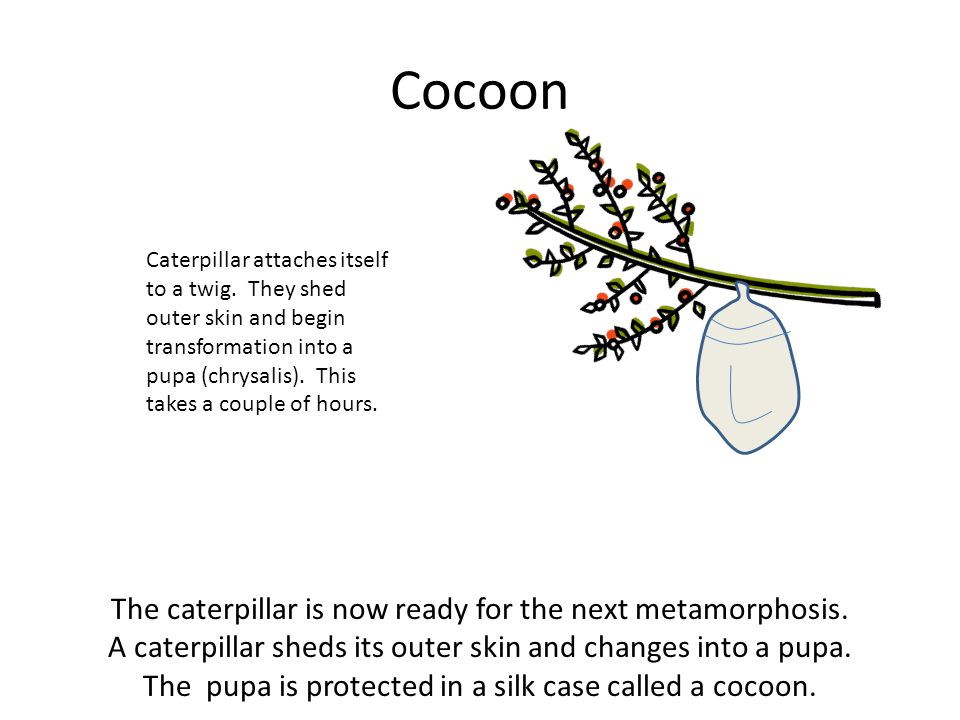 Cocoon The caterpillar is now ready for the next metamorphosis.