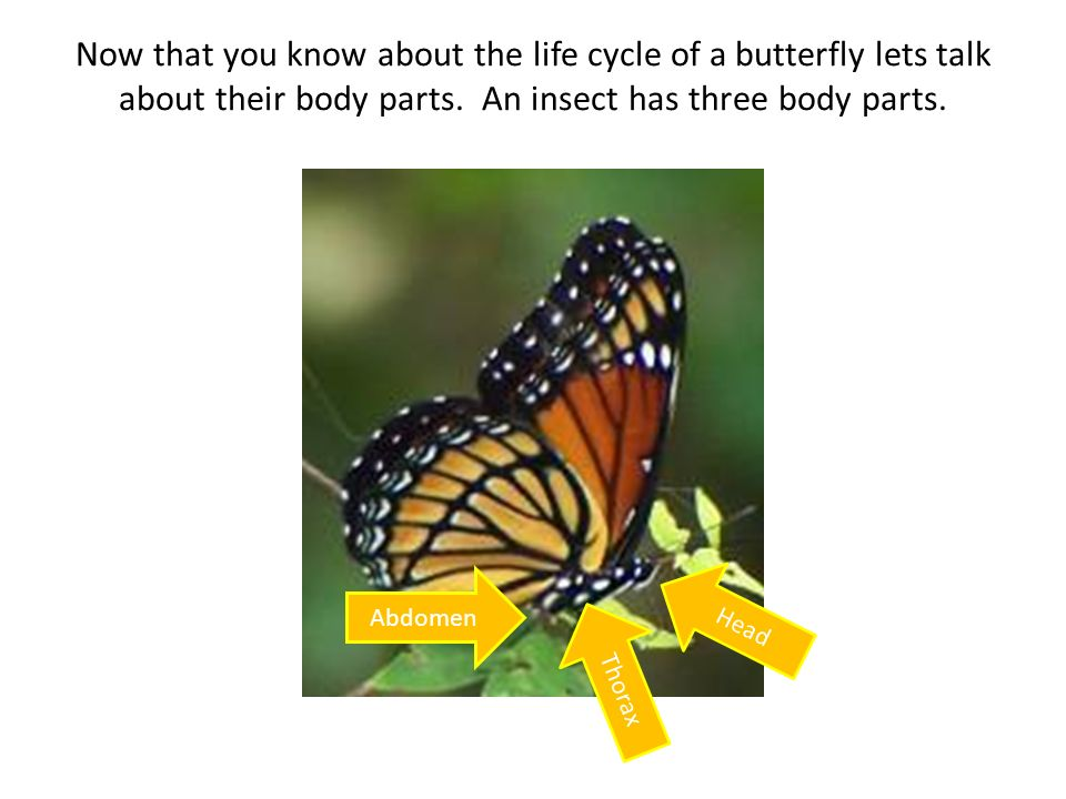 Now that you know about the life cycle of a butterfly lets talk about their body parts. An insect has three body parts.