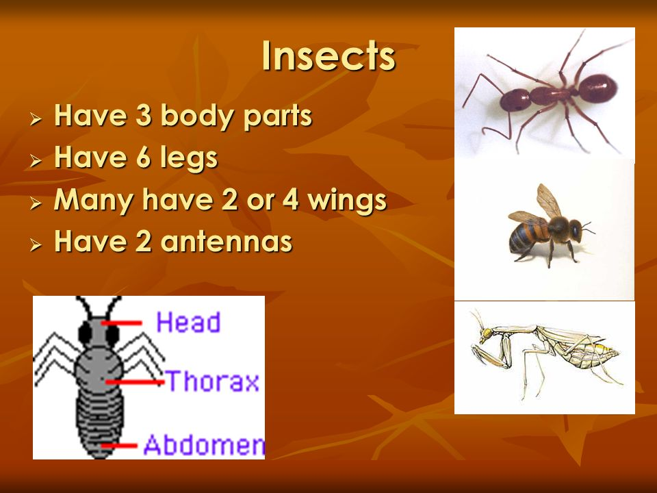 Insects Have 3 body parts Have 6 legs Many have 2 or 4 wings