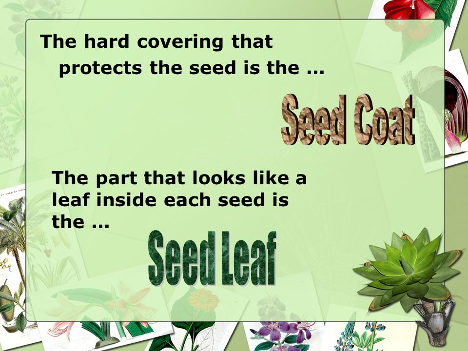 Seed Coat Seed Leaf The hard covering that