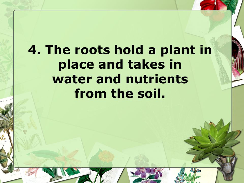 4. The roots hold a plant in place and takes in water and nutrients from the soil.