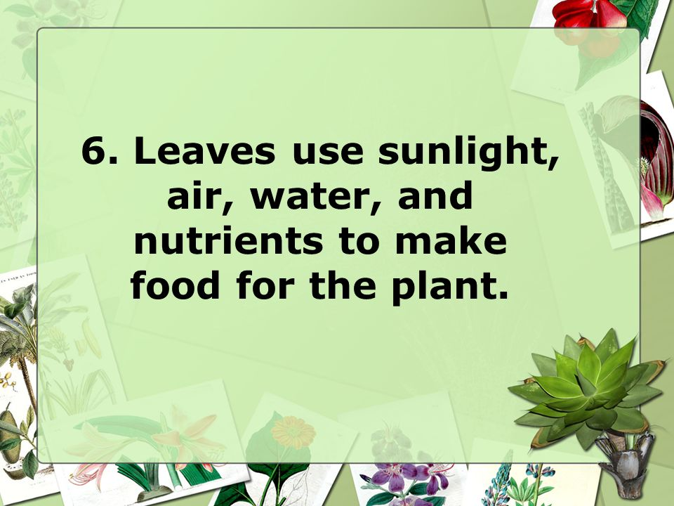 6. Leaves use sunlight, air, water, and nutrients to make food for the plant.