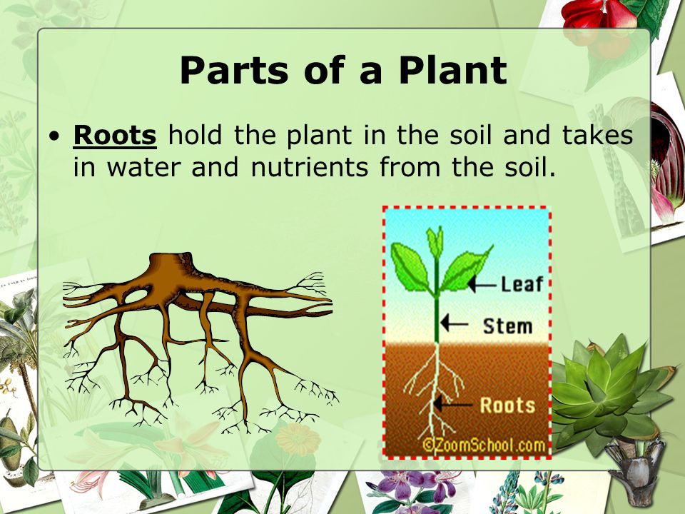 Parts of a Plant Roots hold the plant in the soil and takes in water and nutrients from the soil.