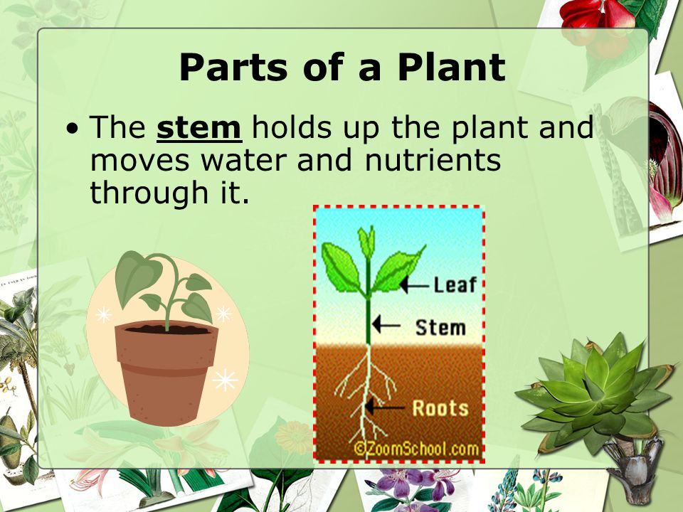 Parts of a Plant The stem holds up the plant and moves water and nutrients through it.