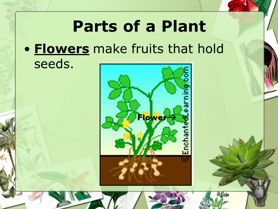 Parts of a Plant Flowers make fruits that hold seeds. Flower 