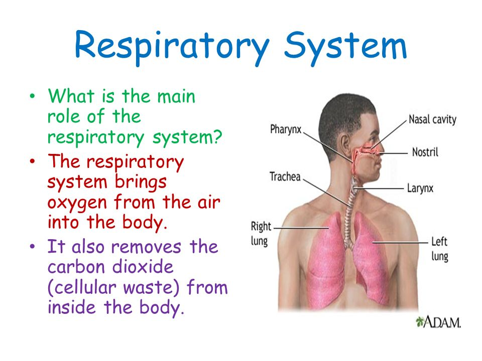 the purpose and function of the respiratory system The function of the respiratory system is to deliver air to the lungs oxygen in the air diffuses out of the lungs and into the blood, while carbon dioxide diffuses in the opposite direction, out of the blood and into the lungs.