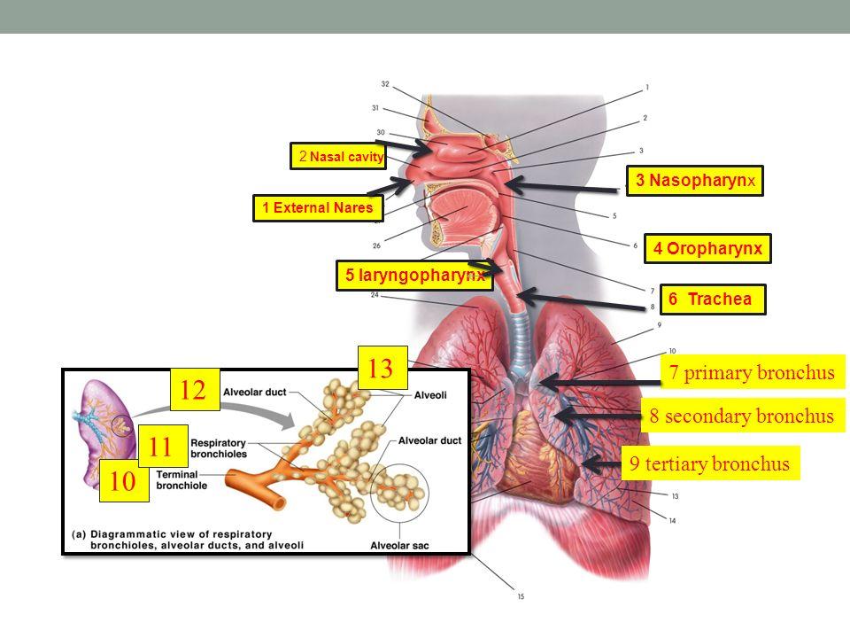 Bronchial circulation 1668901 - ilug-cal.info