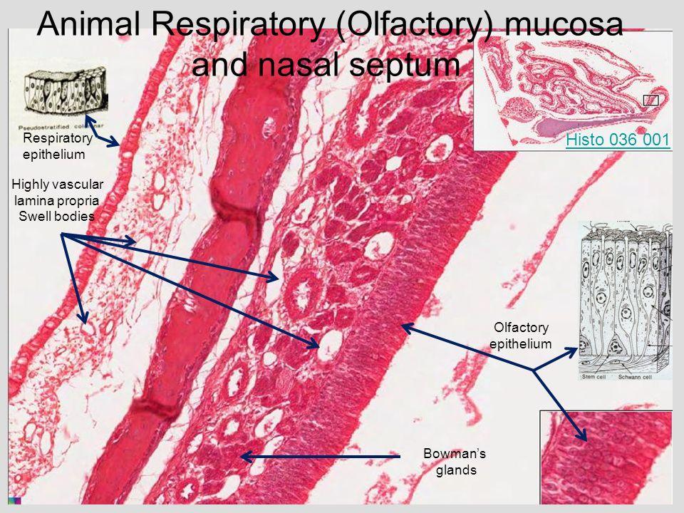 medical school histology basics respiratory system ppt