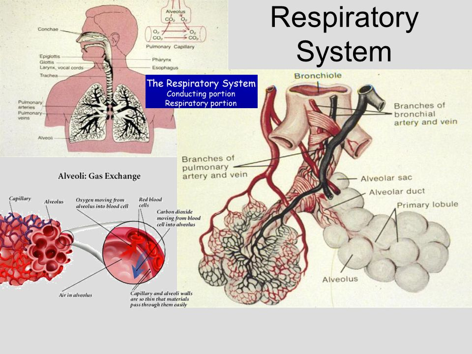 Medical School Histology Basics Respiratory System - ppt video ...