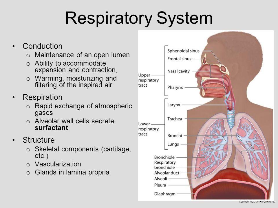 Respiratoryanatomy Power Point: Medical School Histology Basics Respiratory System