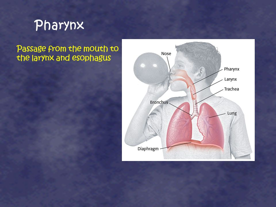 Pharynx Passage from the mouth to the larynx and esophagus