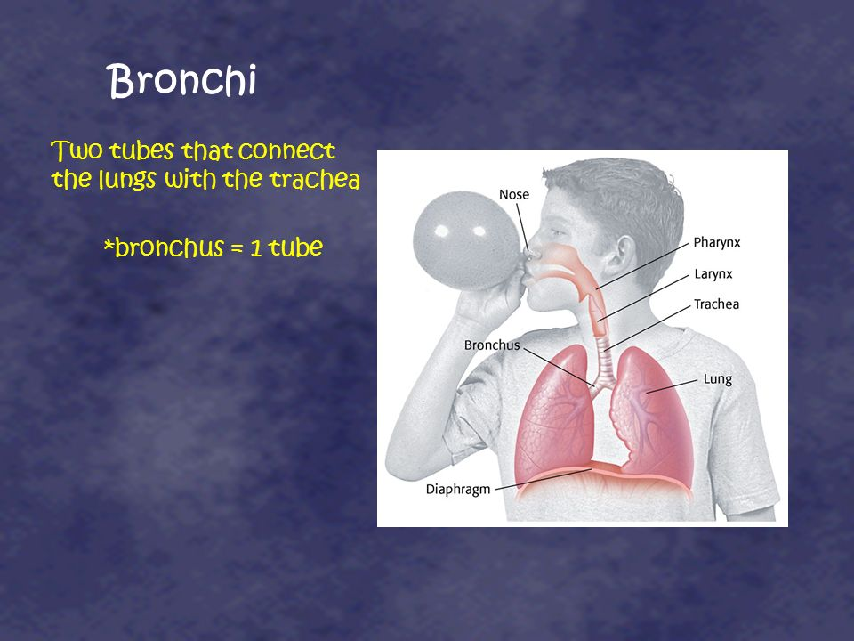 Bronchi Two tubes that connect the lungs with the trachea