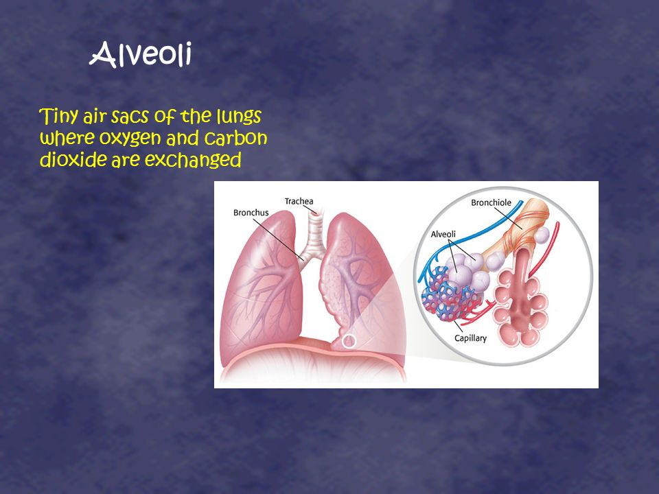 Alveoli Tiny air sacs of the lungs where oxygen and carbon dioxide are exchanged