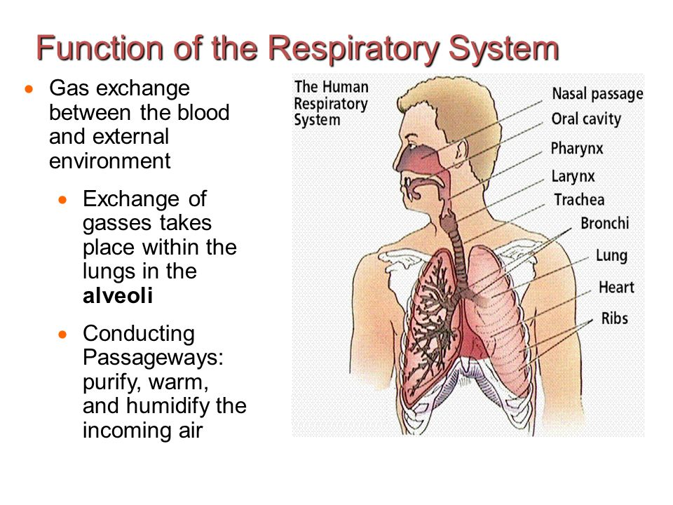 the respiratory system - ppt download, Human body