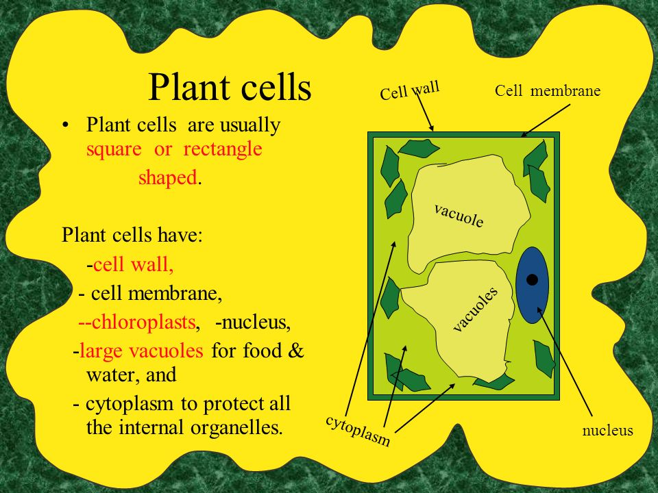 Plant cells Plant cells are usually square or rectangle shaped.
