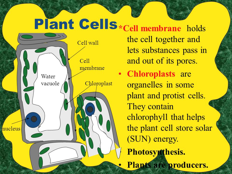 Plant Cells *Cell membrane holds the cell together and lets substances pass in and out of its pores.