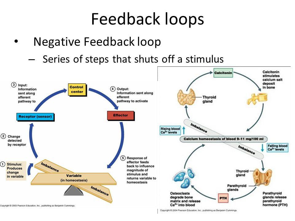 Negative Feedback In Anatomy