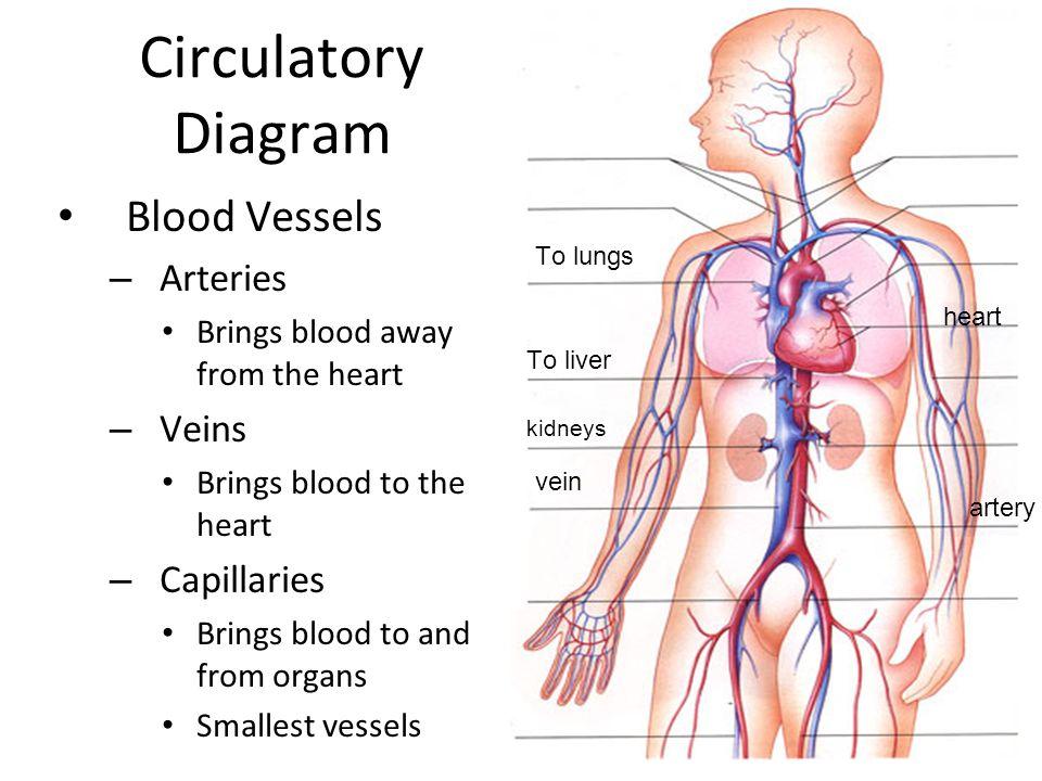 Heart Veins And Arteries Anatomy Gallery - human body anatomy