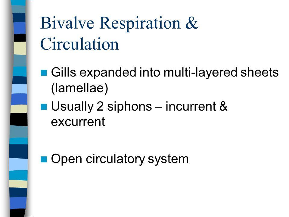 Bivalve Respiration & Circulation