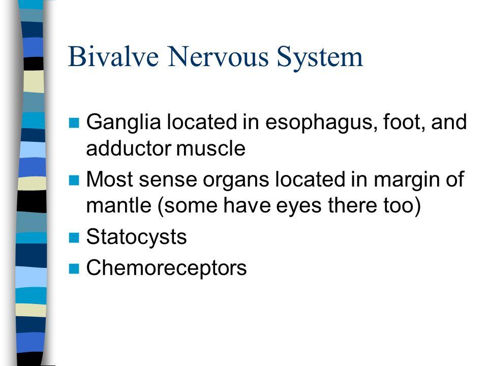 Bivalve Nervous System