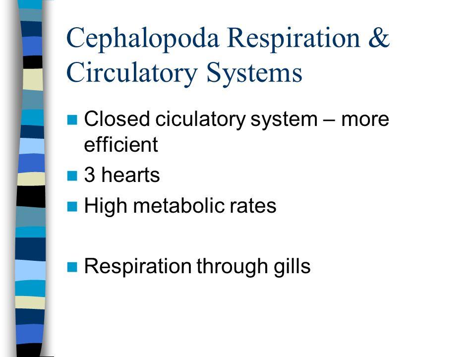 Cephalopoda Respiration & Circulatory Systems