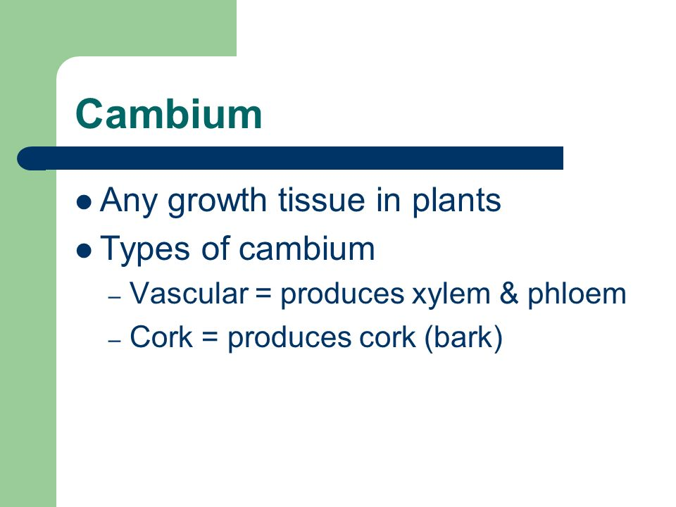 Cambium Any growth tissue in plants Types of cambium