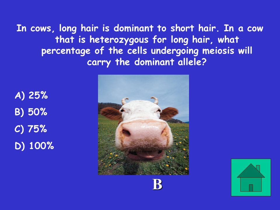 In cows, long hair is dominant to short hair