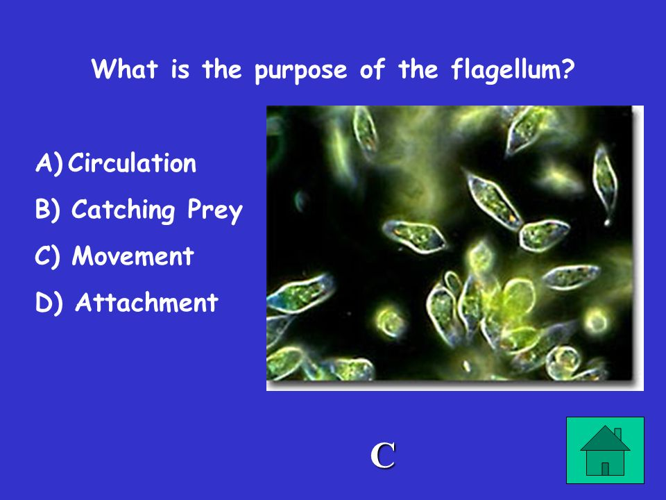 What is the purpose of the flagellum