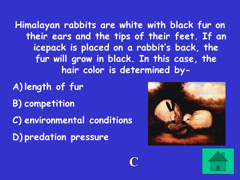 Himalayan rabbits are white with black fur on their ears and the tips of their feet. If an icepack is placed on a rabbit's back, the fur will grow in black. In this case, the hair color is determined by-