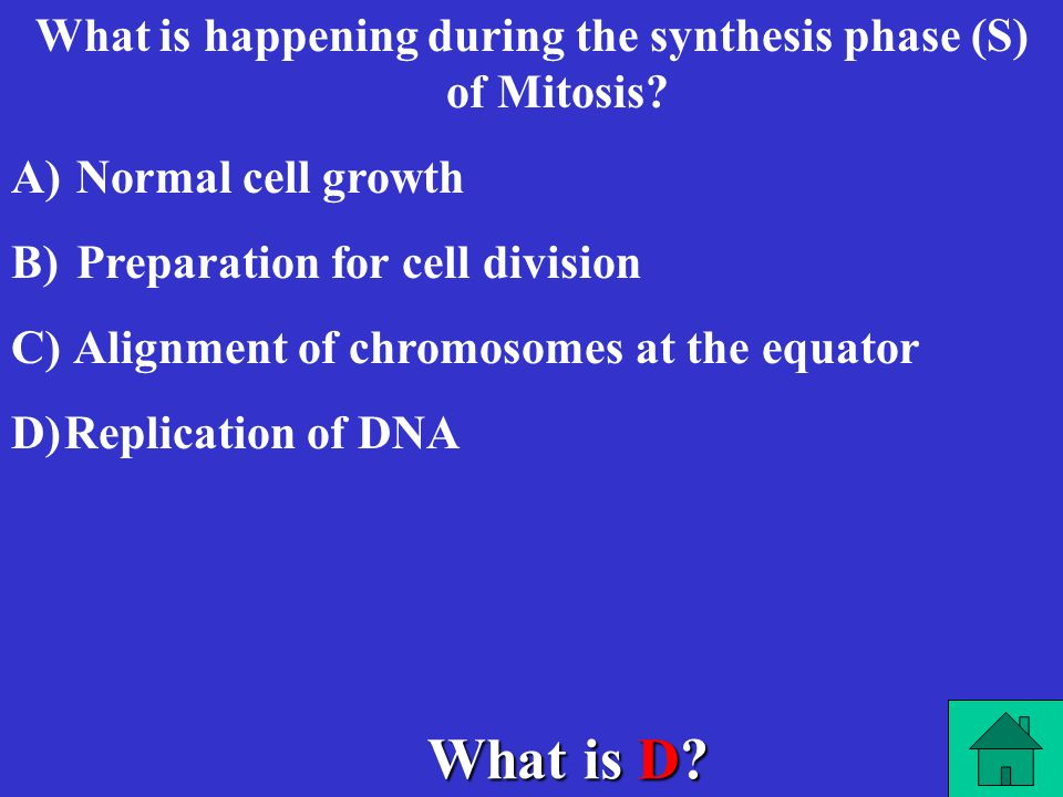 What is happening during the synthesis phase (S) of Mitosis