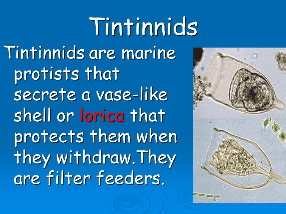 Tintinnids Tintinnids are marine protists that secrete a vase-like shell or lorica that protects them when they withdraw.They are filter feeders.