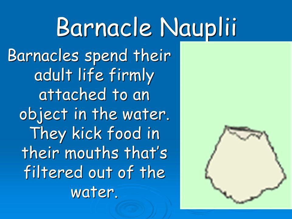 Barnacle Nauplii