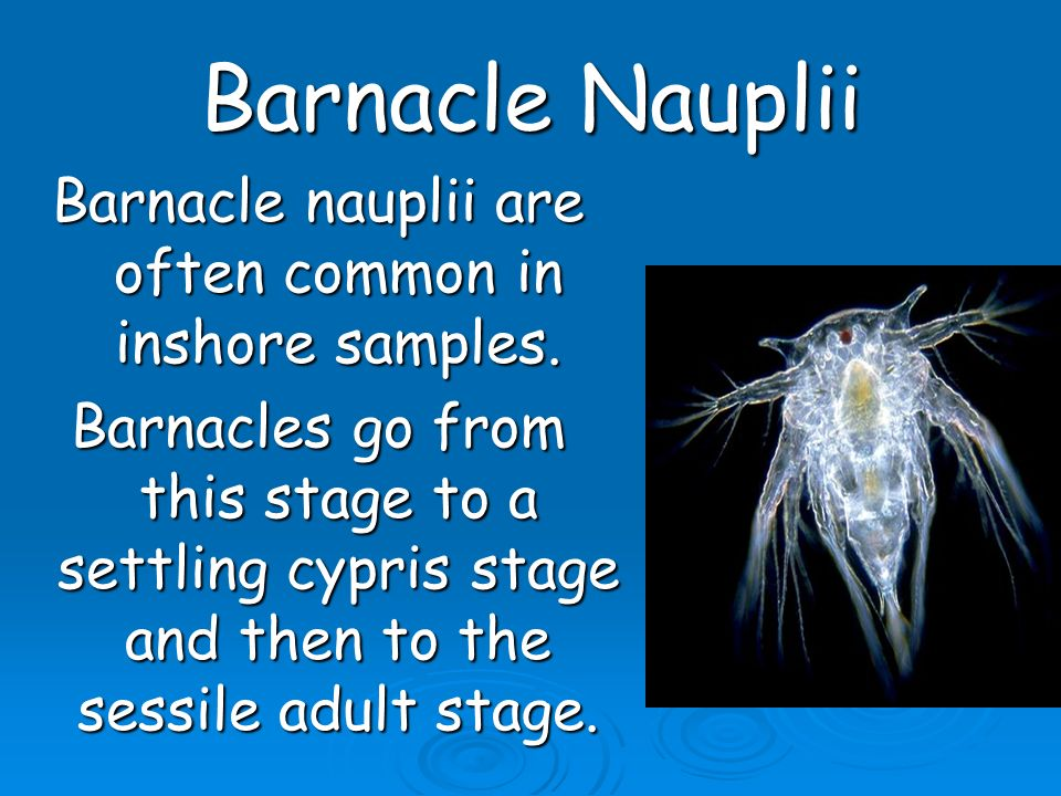 Barnacle nauplii are often common in inshore samples.