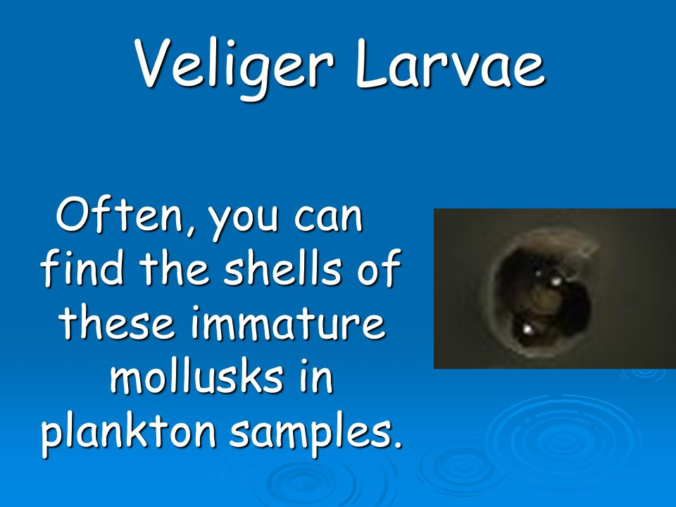 Veliger Larvae Often, you can find the shells of these immature mollusks in plankton samples.