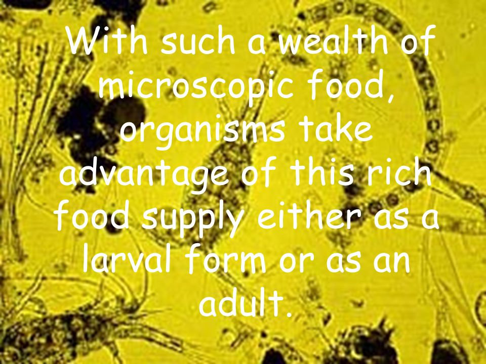 With such a wealth of microscopic food, organisms take advantage of this rich food supply either as a larval form or as an adult.