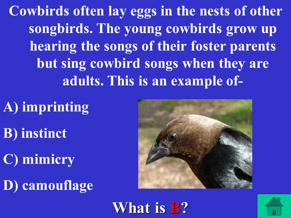 Cowbirds often lay eggs in the nests of other songbirds