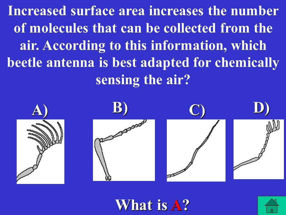 Increased surface area increases the number of molecules that can be collected from the air. According to this information, which beetle antenna is best adapted for chemically sensing the air