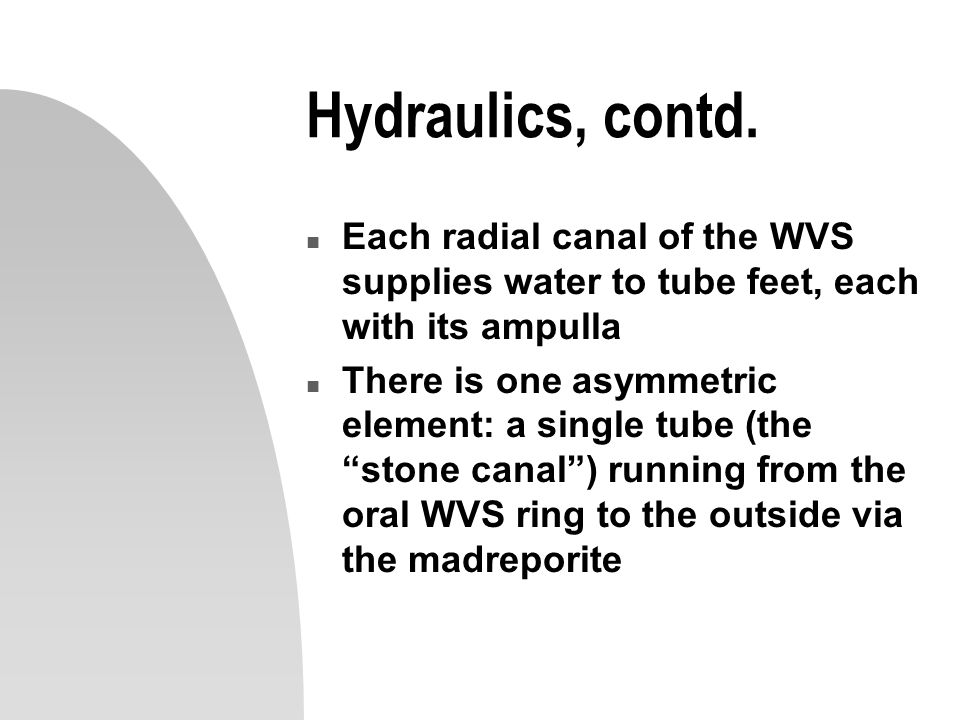 Hydraulics, contd. Each radial canal of the WVS supplies water to tube feet, each with its ampulla.