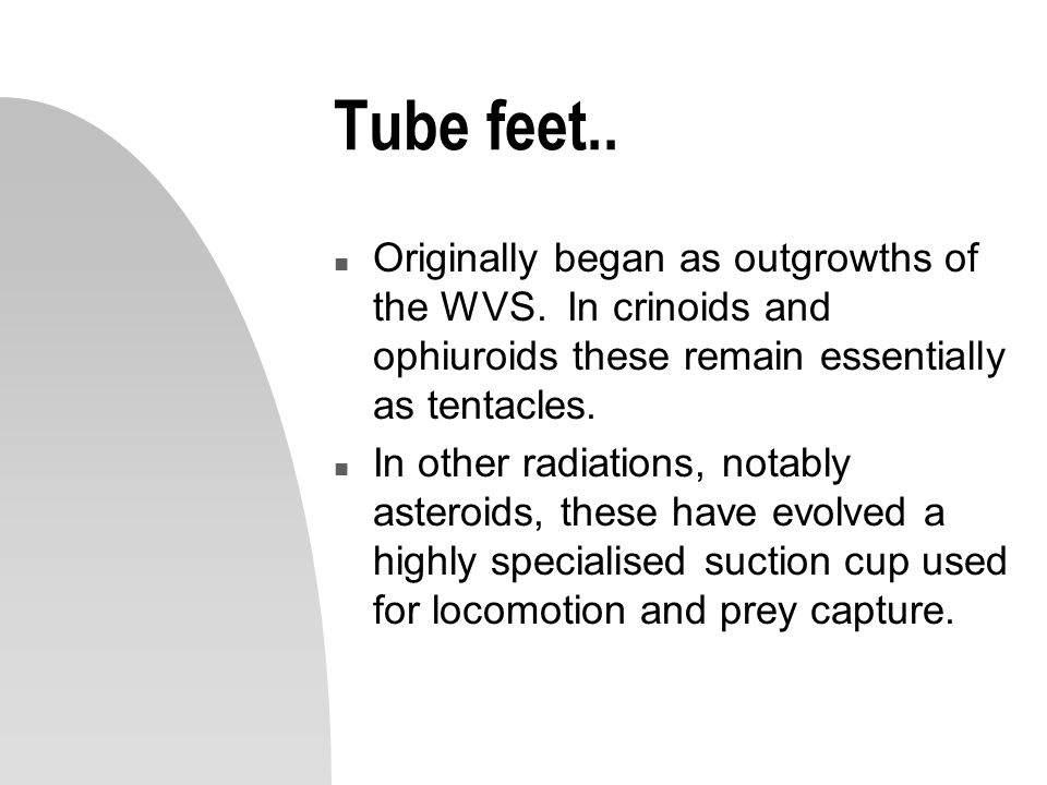 Tube feet.. Originally began as outgrowths of the WVS. In crinoids and ophiuroids these remain essentially as tentacles.