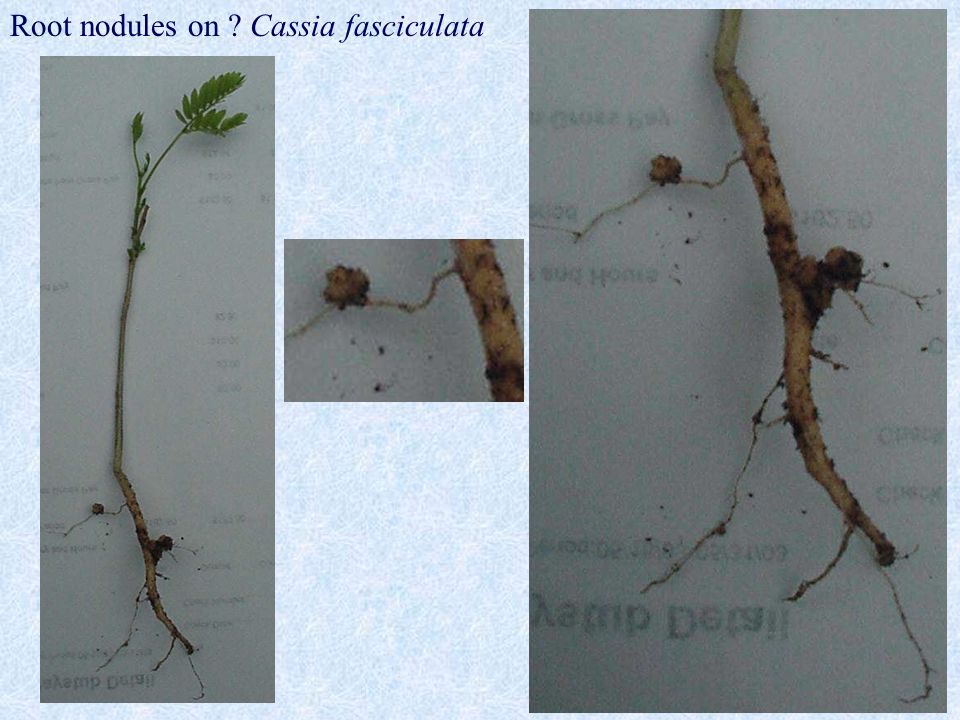 Root nodules on Cassia fasciculata