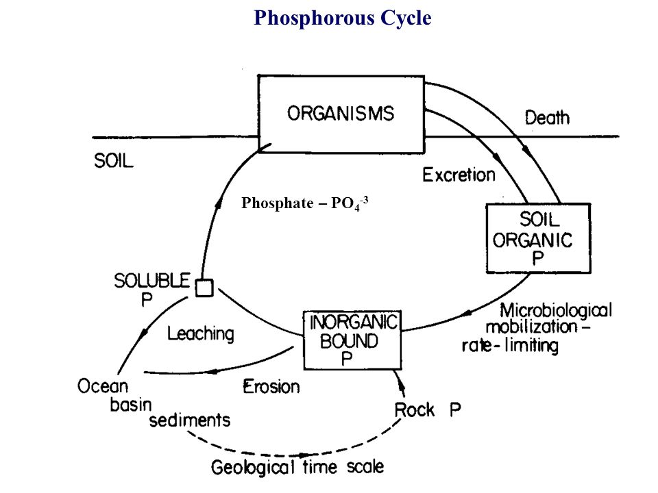 Phosphorous Cycle Phosphate – PO4-3