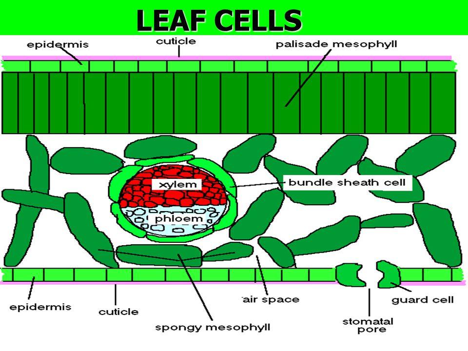 LEAF CELLS