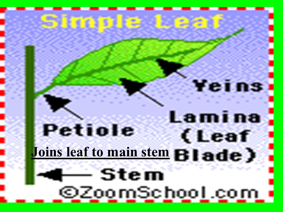 Joins leaf to main stem