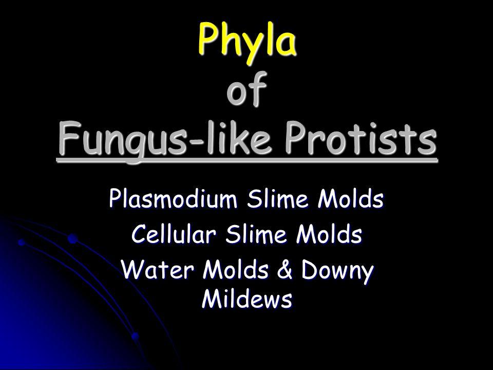 Phyla of Fungus-like Protists