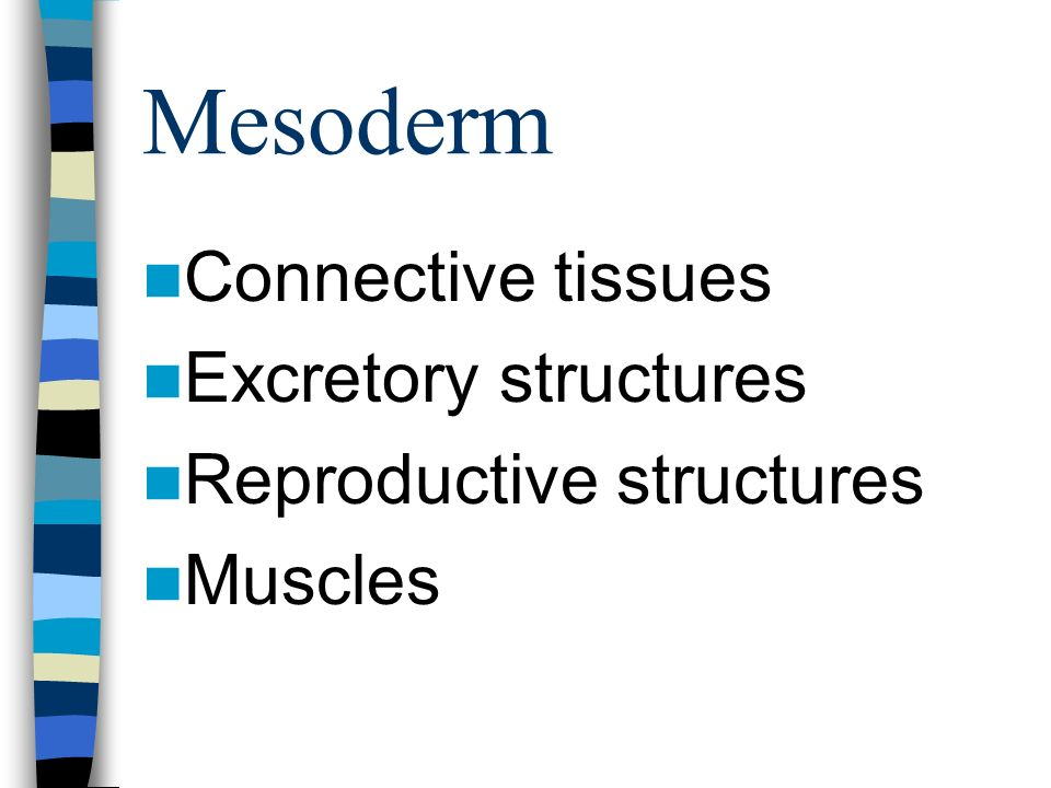 Mesoderm Connective tissues Excretory structures