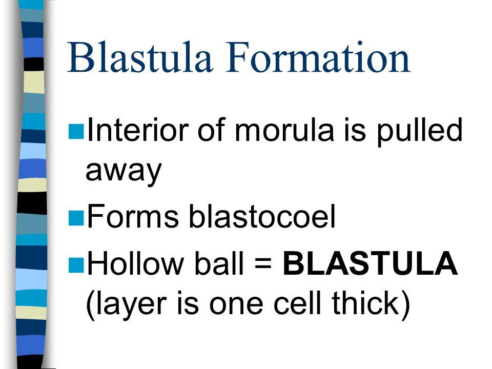 Blastula Formation Interior of morula is pulled away Forms blastocoel