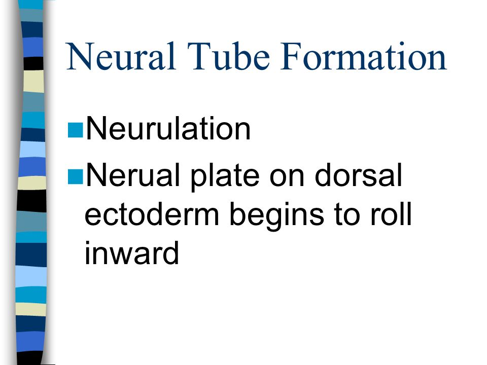 Neural Tube Formation Neurulation